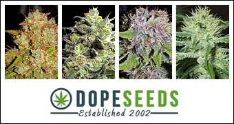 Thank You To Our Renewing Sponsor Dope Seeds