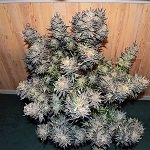 420 Magazine's Plant Of The Month – June 2017