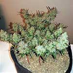 420 Magazine's Plant Of The Month – November 2017