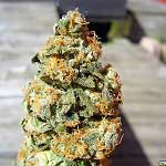 420 Magazine's Nug Of The Month – November 2017