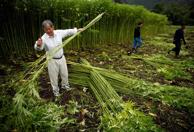 Mitch Mcconnell Wants To Legalize Hemp Here S How It S