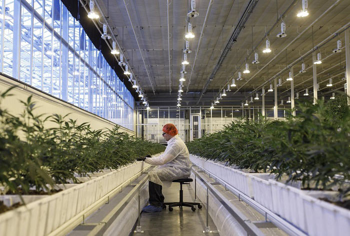 O Cannabis! U.S. Faces Fight With Canada For Marijuana Supremacy